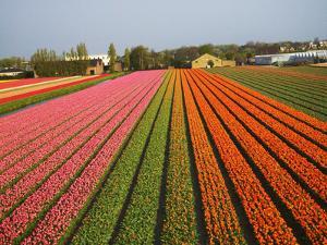Tulip Lands, Leiden Area, Netherlands by Keren Su