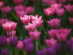 Tulips in Keukenhof Gardens, Amsterdam, Netherlands by Keren Su