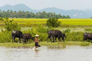Water buffalo on the shore of Kaladan River, between Mrauk-U and Sittwe, Rakhine State, Myanmar by Keren Su