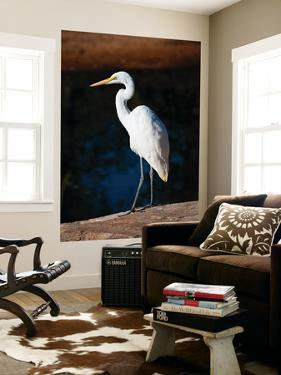 Great Egret on Gibb River by Kerry Lorimer
