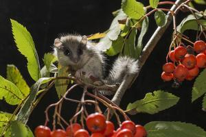 Juvenile Forest Dormouse (Dryomys Nitedula) on a Rowan Ash (Sorbus Aucuparia) Branch by Kerstin Hinze