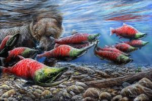 The Last Run - Sockeye Salmon by Kevin Daniel