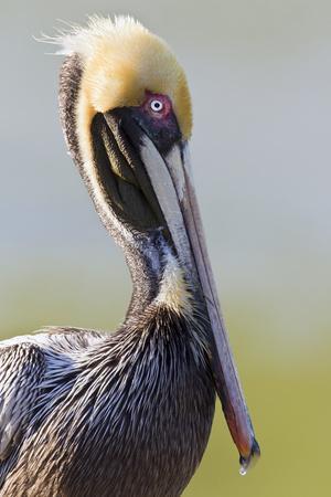 Brown Pelican (Pelecanus occidentalis) adult, breeding plumage, close-up of head and neck, Florida