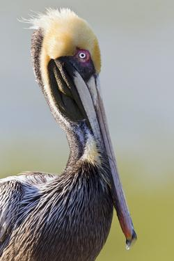 Brown Pelican (Pelecanus occidentalis) adult, breeding plumage, close-up of head and neck, Florida by Kevin Elsby