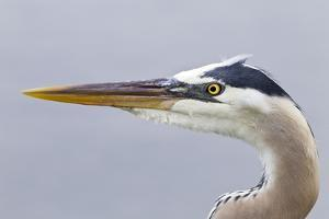 Great Blue Heron (Ardea herodias) adult, close-up of head, Florida, USA by Kevin Elsby