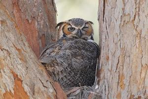 Great Horned Owl (Bubo virginianus) adult, sitting on nest in fork of tree, Florida, USA by Kevin Elsby