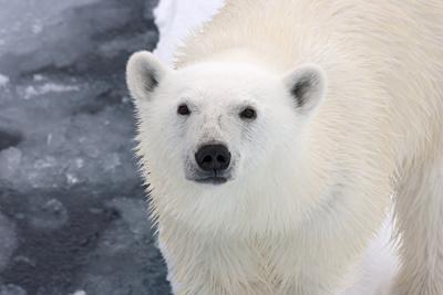 Polar Bear (Ursus maritimus) adult, close-up of head, standing on pack ice, Kong Karls Land