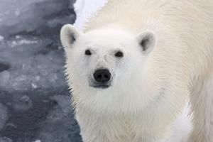 Polar Bear (Ursus maritimus) adult, close-up of head, standing on pack ice, Kong Karls Land by Kevin Elsby