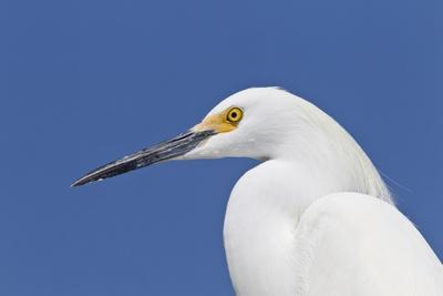 Snowy Egret (Egretta thula) adult, breeding plumage, close-up of head, Florida