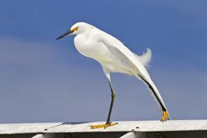 Snowy Egret (Egretta thula) adult, breeding plumage, stretching wing and leg, Florida by Kevin Elsby