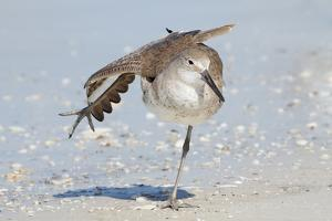 Willet (Catoptrophorus semipalmatus) adult, non-breeding plumage, standing on beach by Kevin Elsby