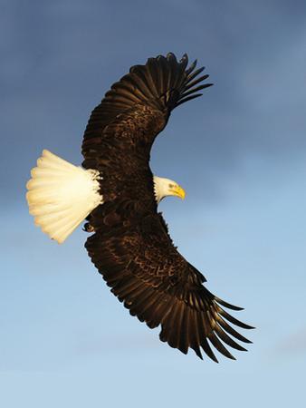 Bald Eagle flying in Alaska by Kevin McCarthy