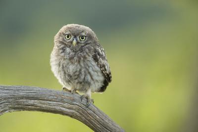 Little Owl (Athene Noctua), Yorkshire, England, United Kingdom, Europe