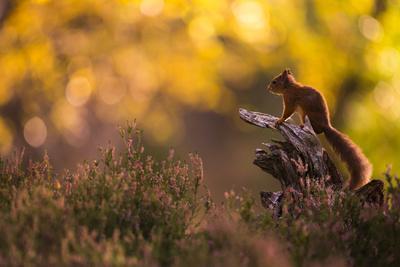 Red squirrel (Sciurus vulgaris) and autumnal colours, Cairngorms National Park, Scotland, United Ki