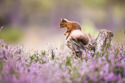 Red squirrel (Sciurus vulgaris) in blooming heather, Cairngorms National Park, Scotland, United Kin