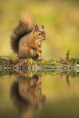 Red squirrel (Sciurus vulgaris) reflection, Yorkshire Dales, Yorkshire, England, United Kingdom, Eu