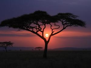 Sunset with Acacia Tree by Kevin O'Brien