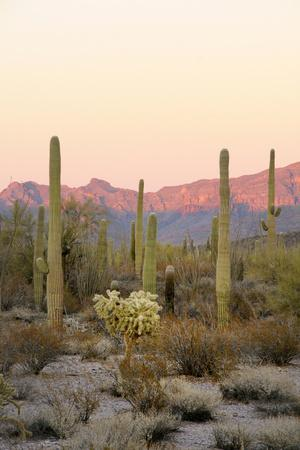 Arizona, Organ Pipe Cactus Nm. Saguaro Cactus and Chain Fruit Cholla