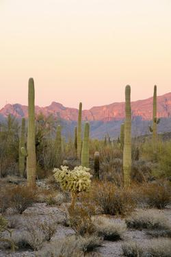 Arizona, Organ Pipe Cactus Nm. Saguaro Cactus and Chain Fruit Cholla by Kevin Oke