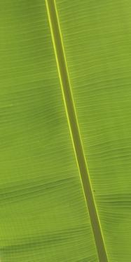 Asia, Vietnam. Banana Leaf Detail, Can Tho by Kevin Oke