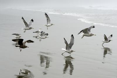 Canada, B.C, Vancouver Island. Gulls Flying on Florencia Beach