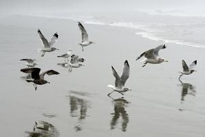 Canada, B.C, Vancouver Island. Gulls Flying on Florencia Beach by Kevin Oke