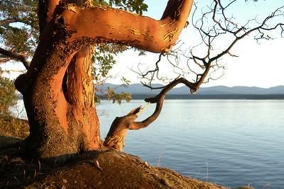 Canada. BC. Arbutus Tree on the Cliffs of Link Island by Kevin Oke