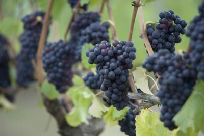Canada, British Columbia, Cowichan Valley. Purple Grapes Hanging on a Vine at a Vineyard