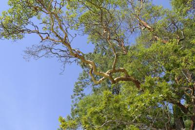 Canada, British Columbia, Galiano Island, Montague Harbour. Arbutus Trees in Montague Harbour