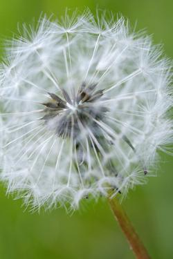 Canada, British Columbia, Vancouver Island. Dandelion by Kevin Oke