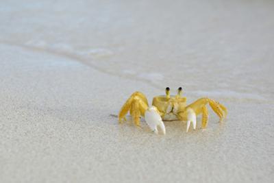 Caribbean, British Virgin Islands, Anegada. Ghost Crab