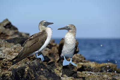 Ecuador, Galapagos, Isabela Island, Punta Moreno. Blue-Footed Booby