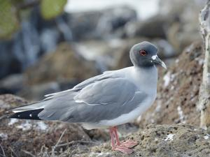 Ecuador, Galapagos Islands, North Seymour Island. Swallow-Tailed Gull by Kevin Oke