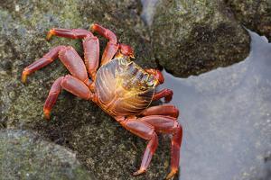 Ecuador, Galapagos Islands, Santa Cruz Island. Sally Lightfoot Crab by Kevin Oke