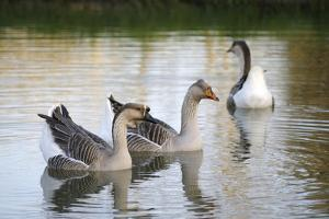 France, Burgundy, Nievre, Cercy La Tour. Geese on the Canal by Kevin Oke
