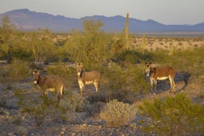 USA, Arizona, Alamo Lake State Park. Wild burros in the desert