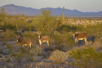 USA, Arizona, Alamo Lake State Park. Wild burros in the desert by Kevin Oke