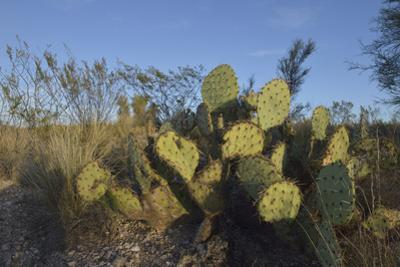 USA, Arizona. Dead Horse Ranch State Park, Beavertail Cactus by Kevin Oke