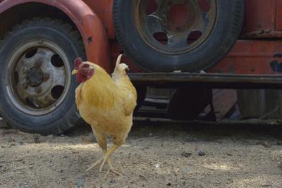 USA, Arizona, Jerome, chicken walking the streets by Kevin Oke