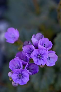 USA, California, Death Valley, Deep purple Notchleaf Phacelia wildflower. by Kevin Oke