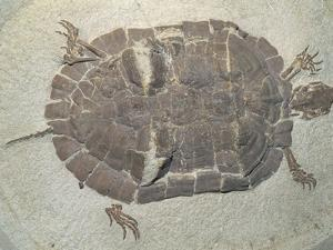 Eocene Echmatemys Fossil Turtle by Kevin Schafer
