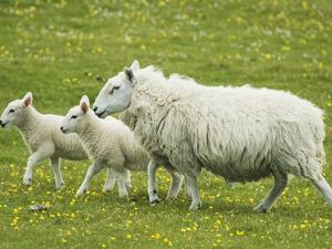 Ewe and lambs by Kevin Schafer