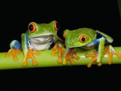 Red-eyed Tree Frogs by Kevin Schafer