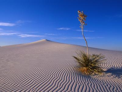 Yucca and Dunes, White Sands National Monument