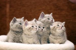 Group of Cute Gray British Kittens by Kichigin