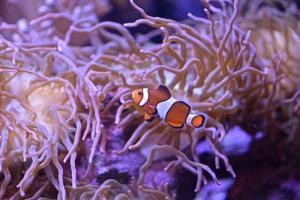 A Clown Fish Swims Among Anemones by Kike Calvo