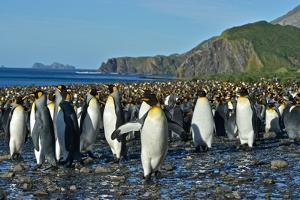 A Huge Colony of King Penguins on a Beach by Kike Calvo