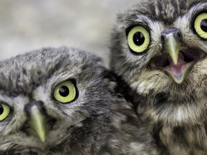 A Portrait of Two Little Owls, Athene Noctua by Kike Calvo