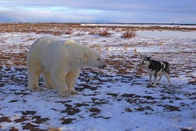 A Random Meeting of a Polar Bear, Ursus Maritimus and a Husky in Winter by Kike Calvo