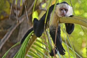 A White-Headed Capuchin, Cebus Capucinus, in Costa Rica's Manuel Antonio National Park by Kike Calvo